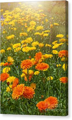 Calendula Flowers In Garden Canvas Print by Elena Elisseeva