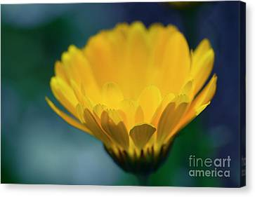 Canvas Print featuring the photograph Calendula by Sharon Mau