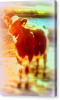 This Calf Has A Hope For A Long And Happy Life But How And When Will It End   Canvas Print by Hilde Widerberg
