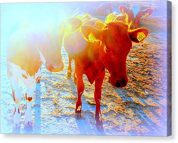 Freedom For The Calfs  Canvas Print by Hilde Widerberg