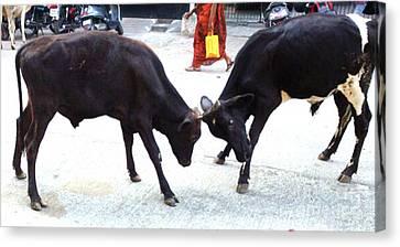 Calf Fighting Canvas Print by Ragunath Venkatraman