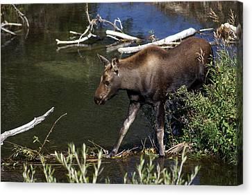 Calf Moose Canvas Print by Marty Koch
