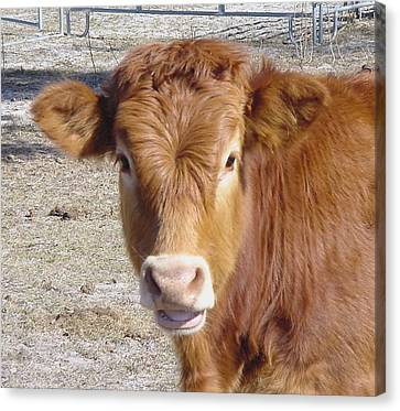 Calf Smiles Canvas Print by Debbie May