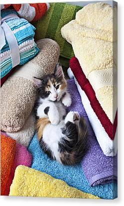 Curious Canvas Print - Calico Kitten On Towels by Garry Gay