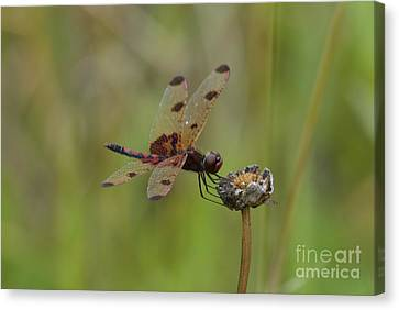 Calico Pennant Canvas Print by Randy Bodkins