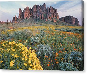Mountain Canvas Print - California Brittlebush Lost Dutchman by Tim Fitzharris
