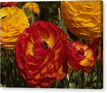 California Gold Canvas Print by Jean Booth