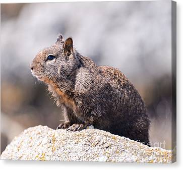 California Ground Squirrel Canvas Print