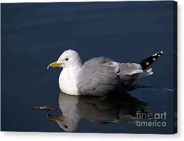 Canvas Print featuring the photograph California Gull by Sharon Talson