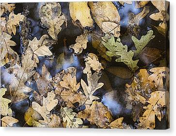Canvas Print featuring the photograph California Oak Leaves  by Sherri Meyer