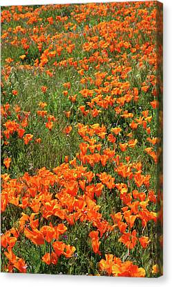 Canvas Print featuring the mixed media California Poppies- Art By Linda Woods by Linda Woods