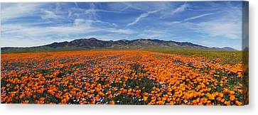 California Poppies Canvas Print by Gary Cloud