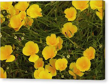 Canvas Print featuring the photograph California Poppies by Sherri Meyer