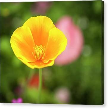 California Poppy 2017-1 Canvas Print
