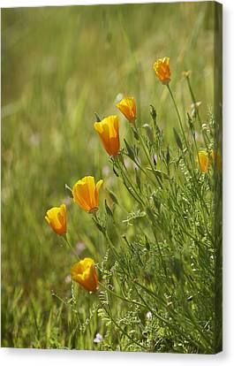California Poppy Canvas Print by Doug Herr