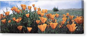 California Poppy Napa Valley Ca Canvas Print by Panoramic Images