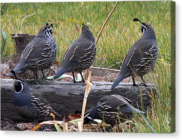 California Quail - 0001 Canvas Print by S and S Photo