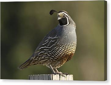 California Quail Male Santa Cruz Canvas Print by Sebastian Kennerknecht