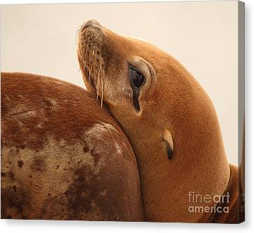 California Sea Lion Pup Resting Against Mother Canvas Print by Max Allen