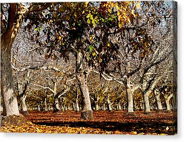 California Walnut Orchard Canvas Print by Pamela Patch