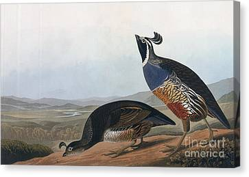 Californian Partridge Canvas Print