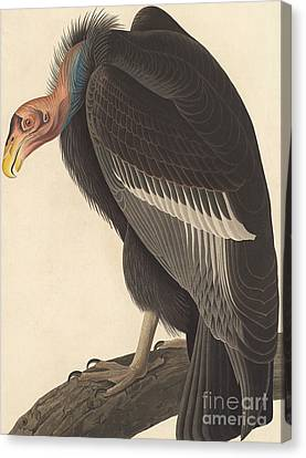 Californian Vulture Canvas Print by John James Audubon