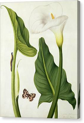 Calla Aethiopica With Butterfly And Caterpillar  Canvas Print