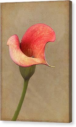 Calla In Red Canvas Print