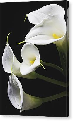 Calla Lilies Bunch Canvas Print by Garry Gay