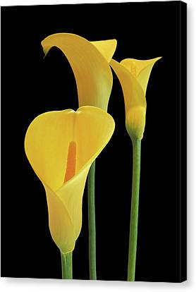 Calla Lilies - Yellow On Black Canvas Print