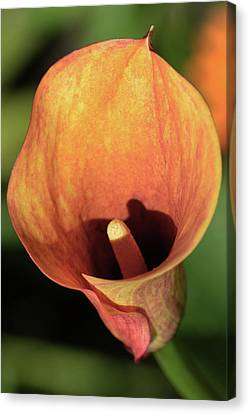 Canvas Print featuring the photograph Calla Sunbathing. by Terence Davis
