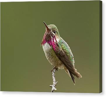 Calliope Hummingbird Canvas Print by Doug Herr