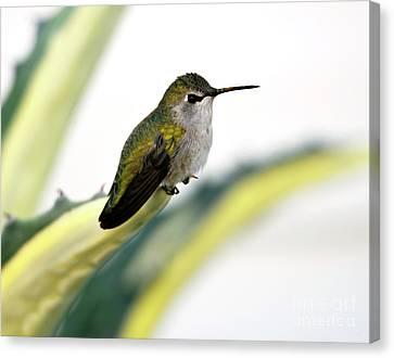 Calliope Hummingbird On Agave Canvas Print