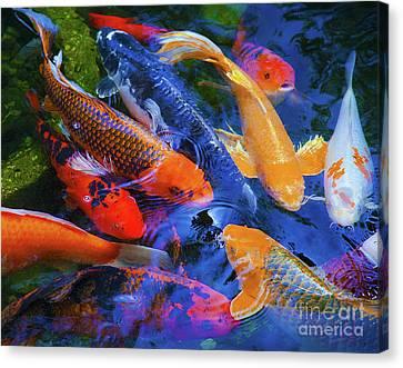 Calm Koi Fish Canvas Print