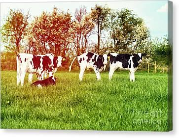 Calves In Spring Field Canvas Print by Amanda Elwell