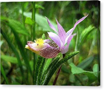 Calypso Orchid Canvas Print by Shirley Sirois