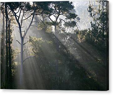 Cambria Pines Canvas Print by Greg Iger