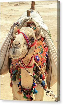 Canvas Print featuring the photograph Camel by Silvia Bruno