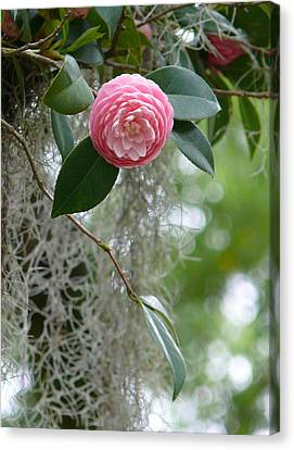 Camellia And Moss Canvas Print by Jeanne  Woods