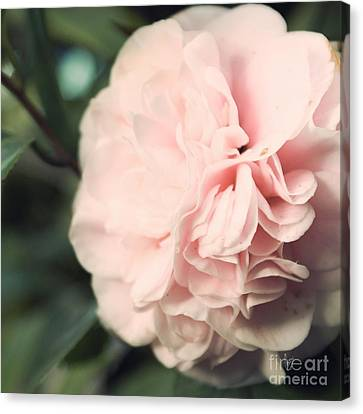Camellia Canvas Print by Cindy Garber Iverson