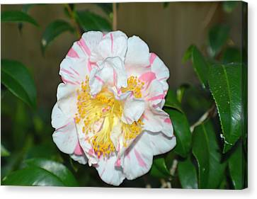 Camellia Floral Canvas Print by Aimee L Maher Photography and Art Visit ALMGallerydotcom