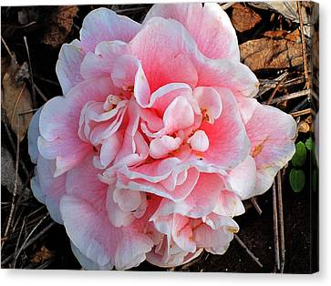 Camellia Flower Canvas Print by Susanne Van Hulst