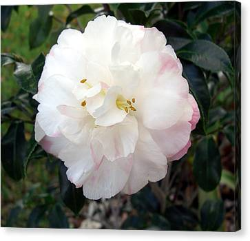 Canvas Print featuring the photograph Camellia by Frederic Kohli