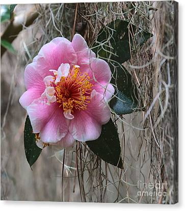 Camellia In Lacy Moss Canvas Print