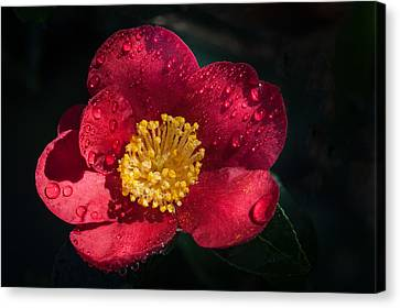 Camellia In Rain Canvas Print by Catherine Lau