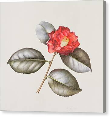 Camellia Canvas Print - Camellia Japonica by Margaret Ann Eden