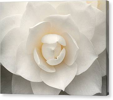 Camellia Perfection Canvas Print