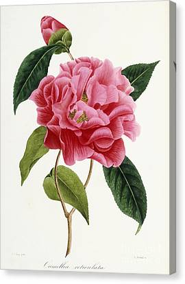 Camellia Reticulata Canvas Print by French School
