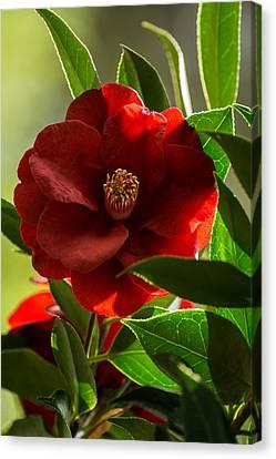 Camellia Royal Velvet Canvas Print by Zina Stromberg