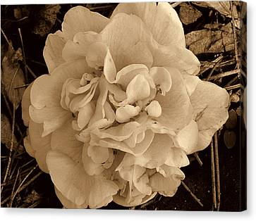 Camellia Sepia Canvas Print by Susanne Van Hulst